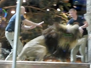 Lion attacks trainer at the MGM Grand Casino on September 1,2010...caught on tape!