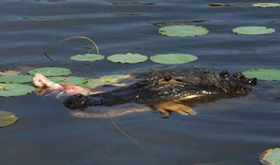 2007 Lake Moultrie Alligator attack...Alligator here swimming off with a man's arm in his mouth!!!