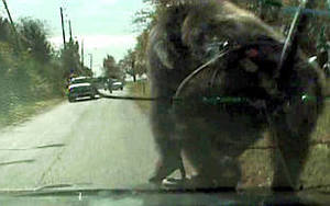 Suko the rampaging Kansas City Chimp Smashimg window of Police car!!!