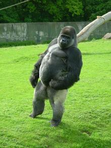 Ambam,21, the upright gorilla at Port Lympne Wild Animal Park