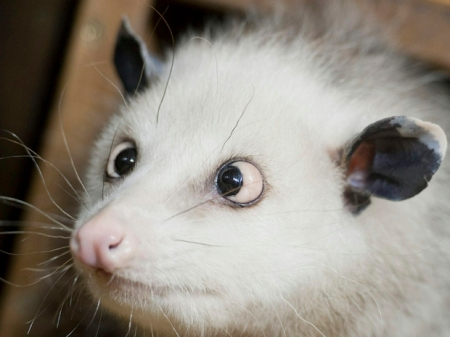 Cross-eyed opossum Heidi