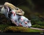 Bronx Zoo cobra eating arat