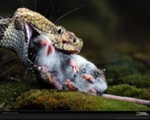 Bronx Zoo cobra eating a rat