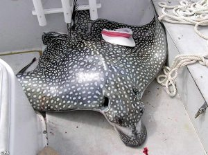 Eagle Ray attack