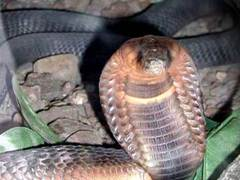 Bronx Zoo Egyptian Asp/Cobra found alive in the reptile