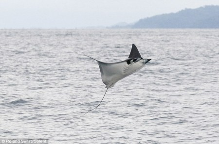 Giant leaping Manta Ray caught on tape...