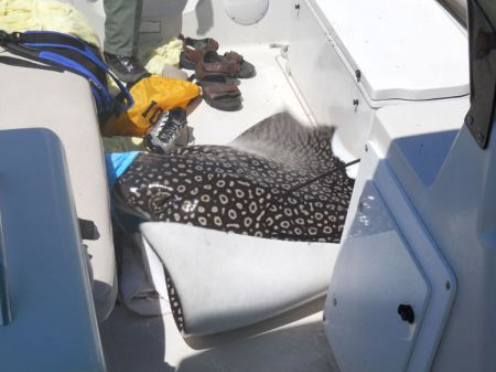 Giant spotted eagle ray on boat