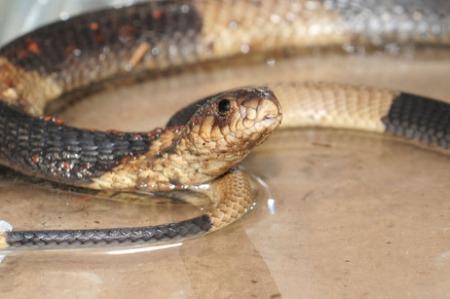 Bronx Zoo Egyptian cobra captured!!!