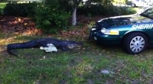 Alligator attacks police car