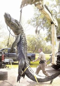 Gator had to be put down for biting the Police Cruiser