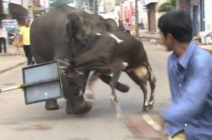 Elephant gores a cow in Mysore,India...poor cow