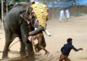 Killer indian elephants sometimes kill!!!