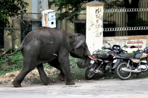 Mad elephant attacking mortorcycles and anything in it's way!