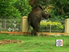 Standing elephant going over a fence