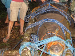 Giant croc jaws tied up after capture